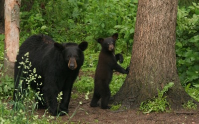 How to Survive a Northern Michigan Bear Encounter
