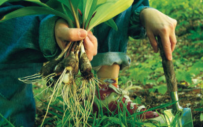 How To Harvest, Clean and Store Wild Leeks