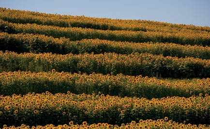 Sunflower field in a new development.