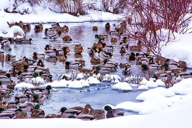 duckdynasty