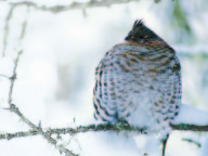 Ruffed grouse in winter.