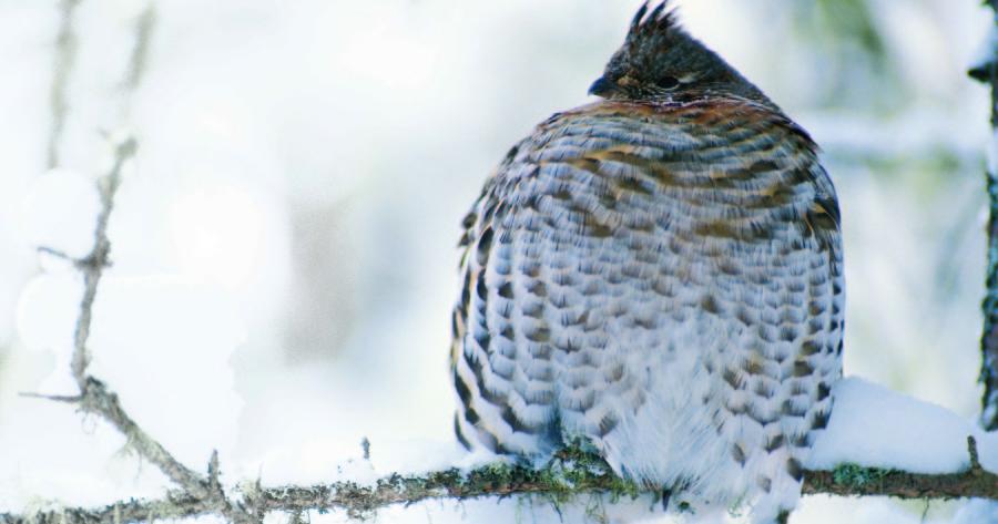 Ruffed grouse in winter.