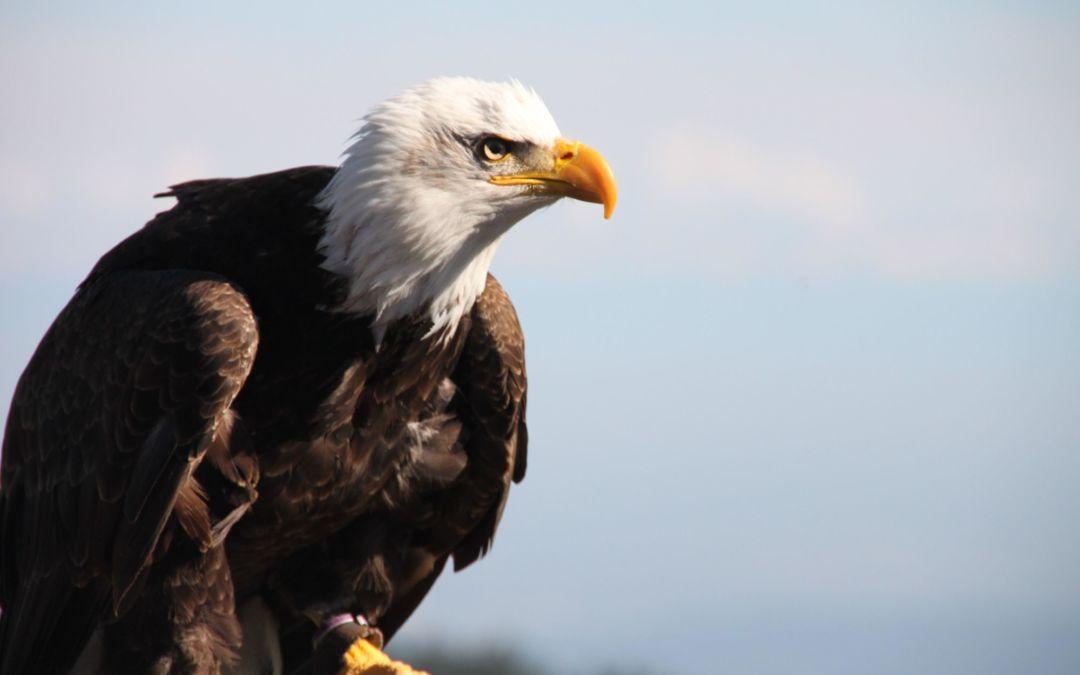 Wings of Wonder eagle release