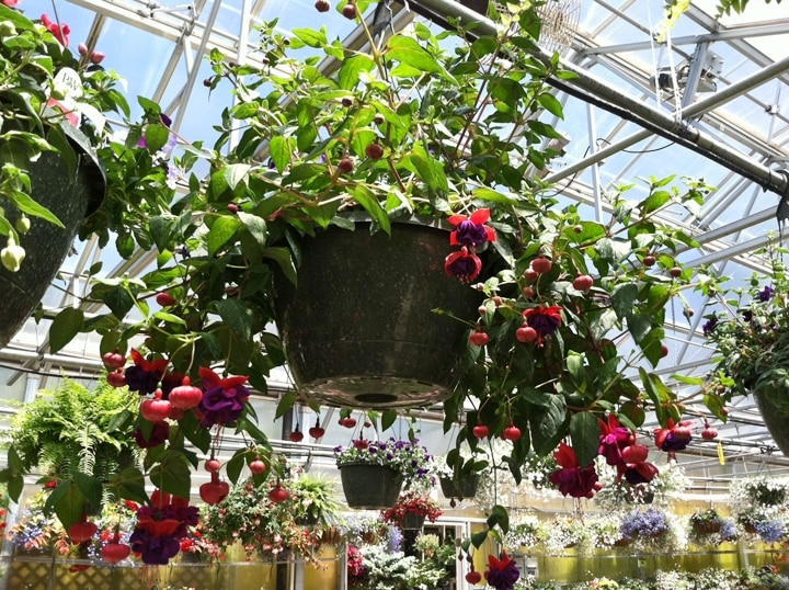 Hanging Flower Baskets That Attract Hummingbirds : Attract hummingbirds northern michigan gardening