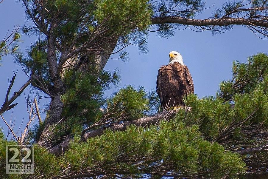 Bald Eagle in Bear Lake