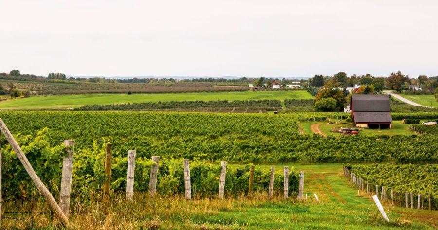 One of Chateau Grand Traverse' vineyards.  Photo by Todd Zawistowski.