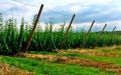 At the Foot of the Sleeping Bear Dunes, Hops for Craft Beer