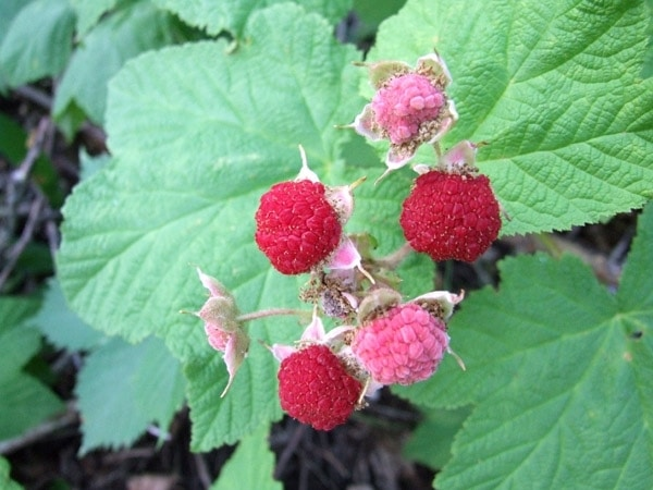 default_ehow_images_a04_9b_45_identify-thimbleberries-wild-800×800