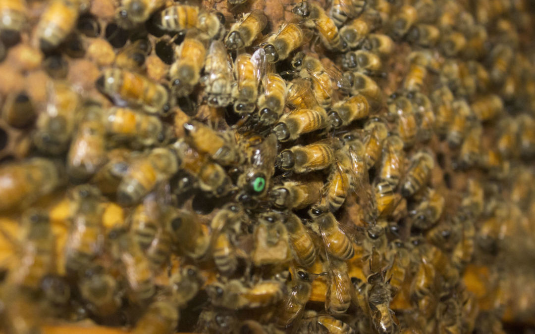 The Buzz at G.T. Butterfly House & Bug Zoo: Learn About the Honeybee