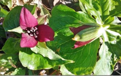 Signs of Spring: A Red Trillium