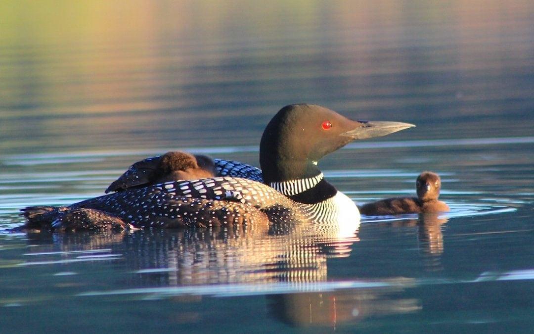 Bear Lake Loon's New Babies