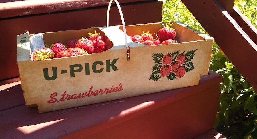 Northern Michigan Strawberries