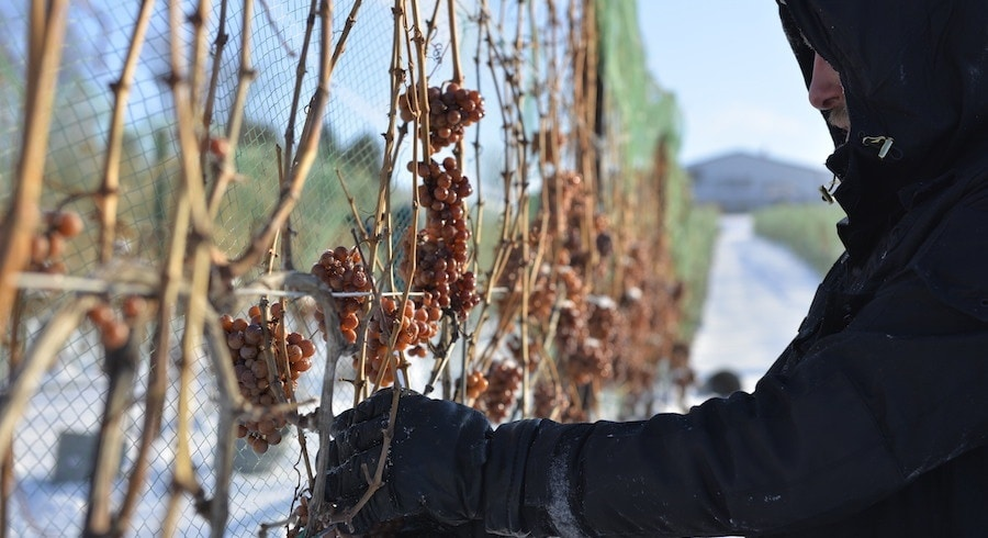 Chateau Grand Traverse ice wine