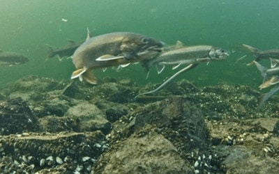 Ancient Strain of Lake Trout Discovered in Elk Lake