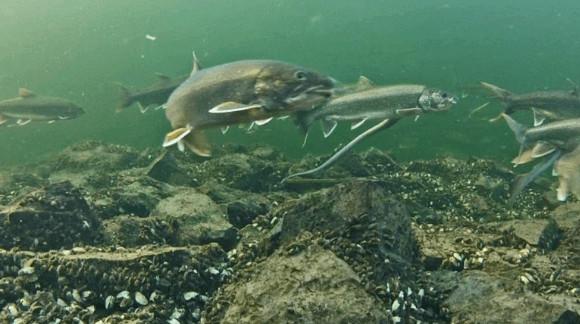 lake trout in elk lake