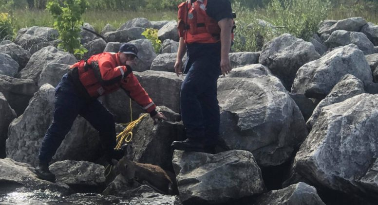 Coast Guard Crew Rescues Pregnant Deer Trapped in Rocks on Manistee River
