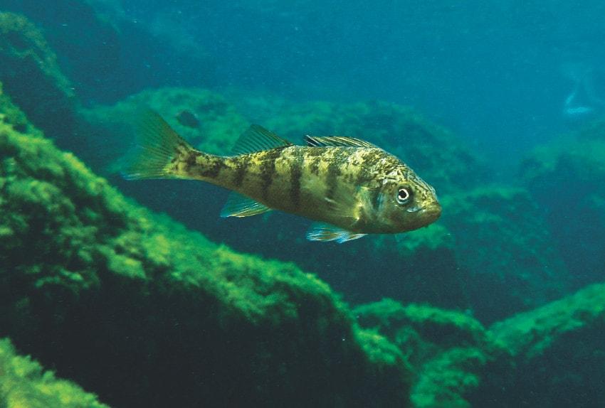 fish in lake michigan
