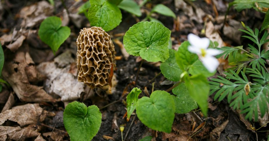 grow morels