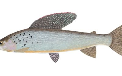 What Will it Take for Michigan's Wild Arctic Grayling to Return Home?