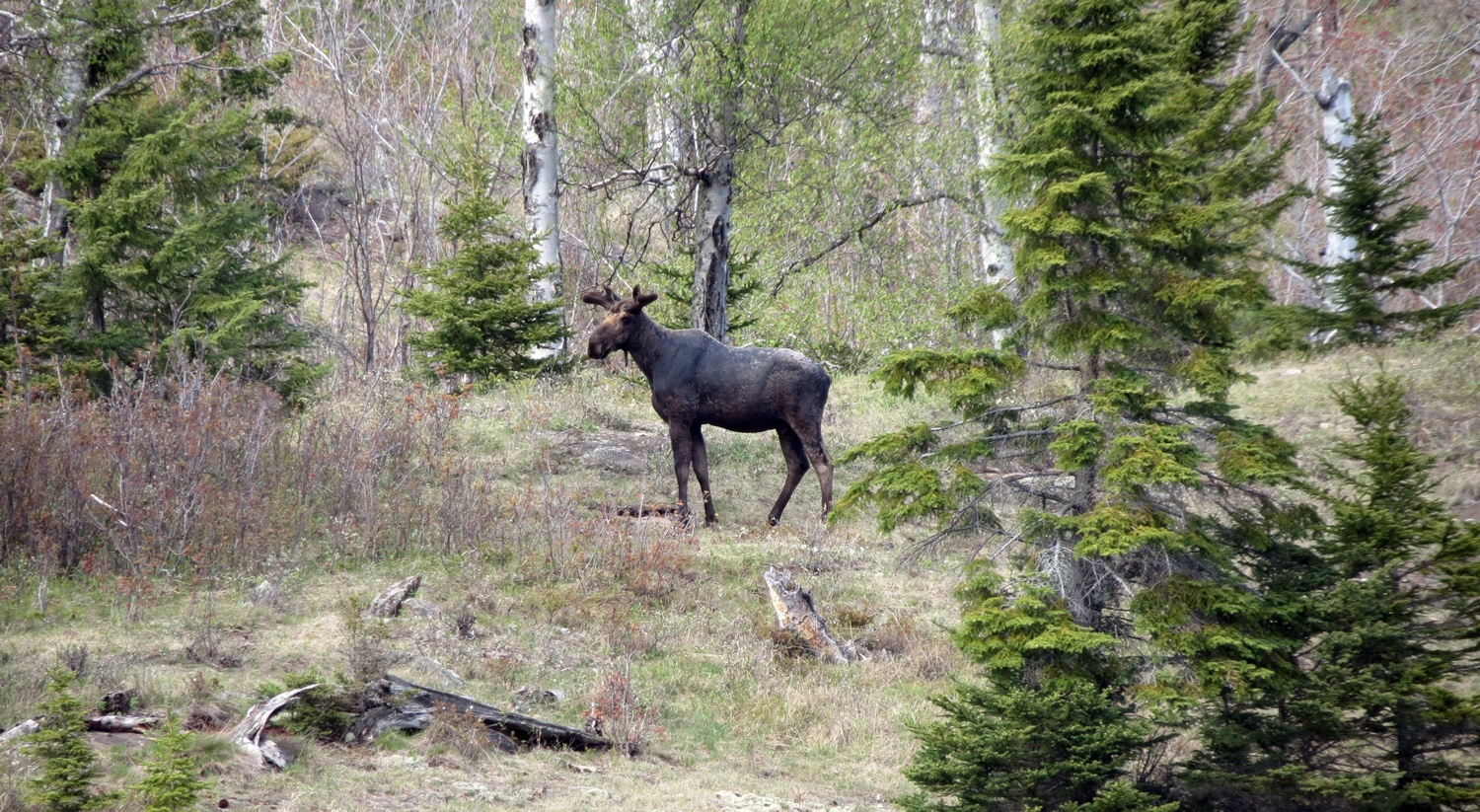 In Search of Isle Royale Moose ... and Bones – MyNorth.com