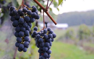 """Meet the Marquette—Petoskey Wine Region's """"It"""" Grape"""