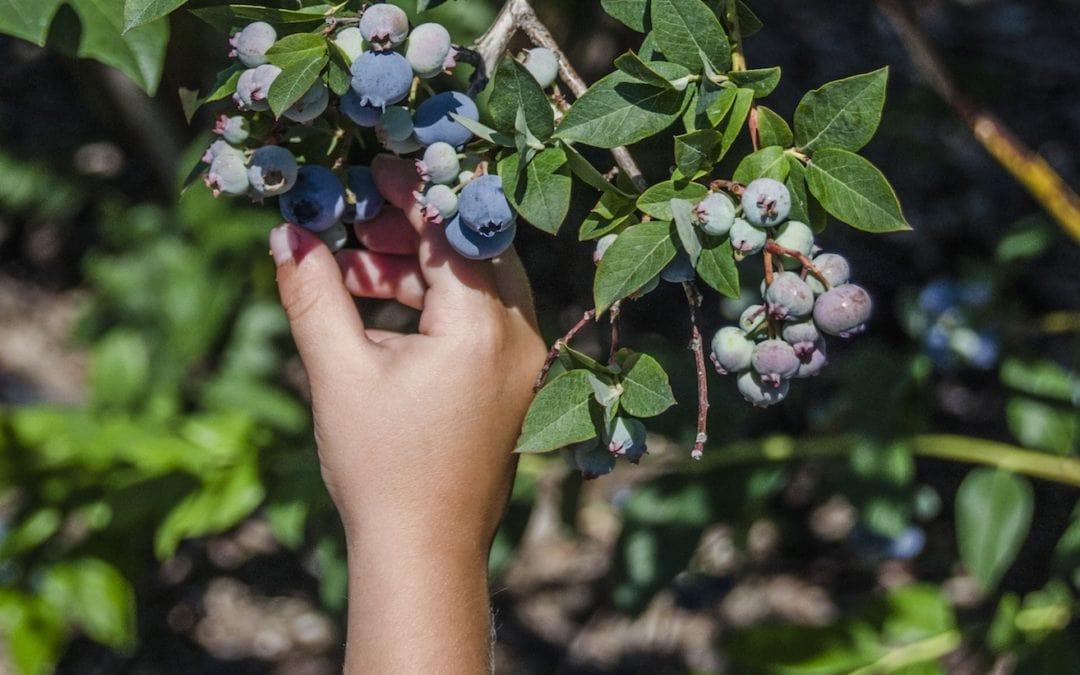 Northern Michigan blueberry U-pick farms