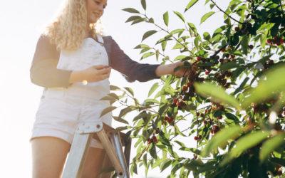 I Pick, U-Pick, We All Pick Cherries!