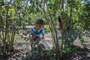 kids, blueberry picking, u-pick, upick, berries, farm, farms