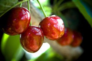 u pick cherries