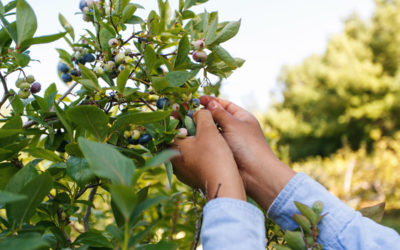 Get Your Berry Fix at Buchan's Blueberry Hill in Traverse City
