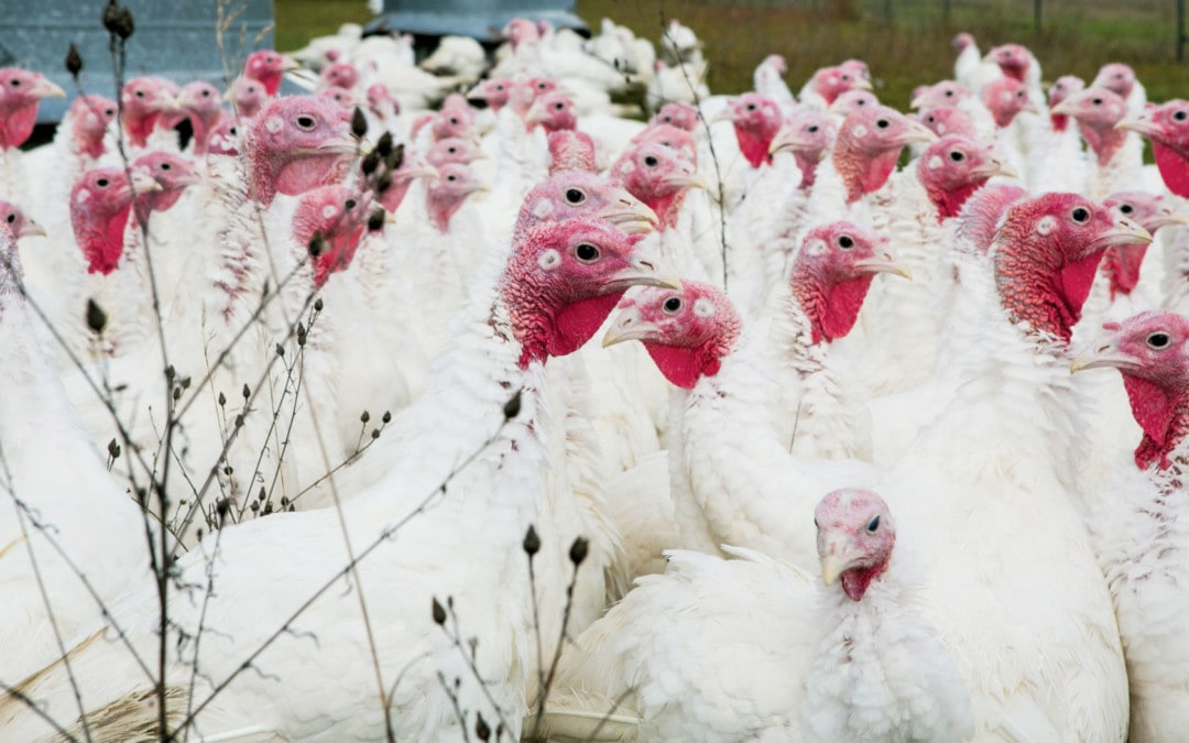 It's Time to Order Your Thanksgiving Turkey from Duerksen's