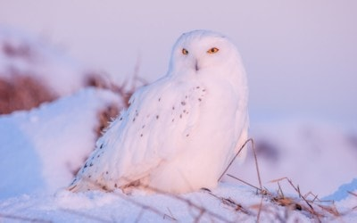 Where & How to Spot a Snowy Owl in Northern Michigan