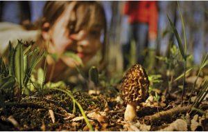 morel mushrooms, morels, forage, foraging, woods, spring
