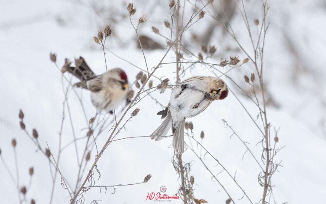 Common Redpolls