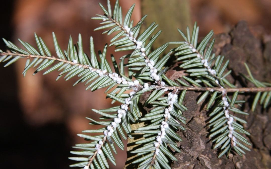 How to Spot and Treat Hemlock Woolly Adelgid this Spring