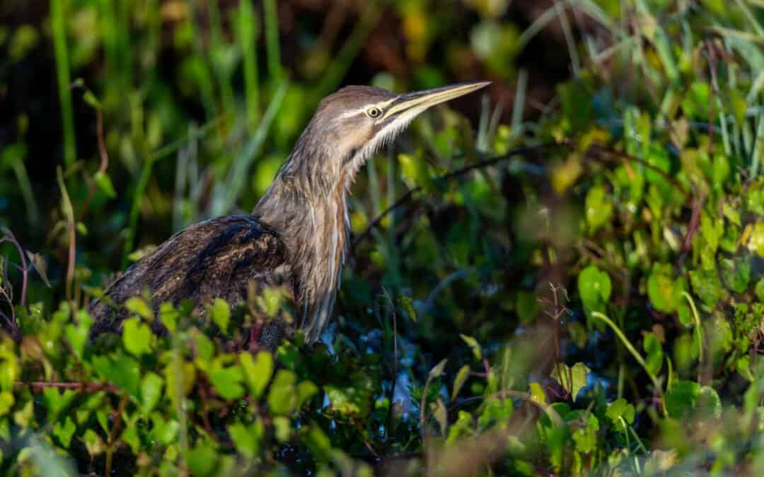 St. Ignace is Home Base for Upper Peninsula Birdwatching