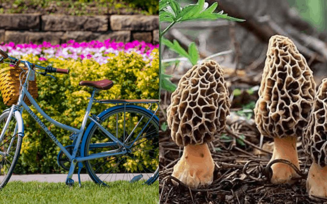 A bike and morel mushrooms in Northern Michigan