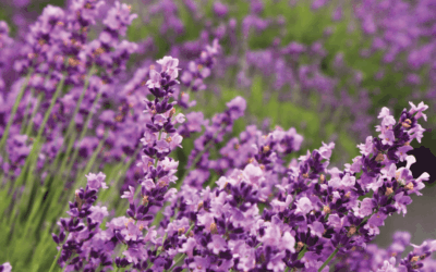 7 Lavender Farms to Explore in Northern Michigan this Summer